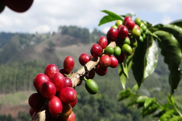 Coffee tour, Finca el Ocaso - Salento 5